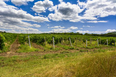 Landscape with wine grapes in the vineyard. Crimea Stock Photography