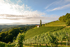 Landscape with wine grapes in the vineyard before harvest, Styria Austria. Europe royalty free stock photo