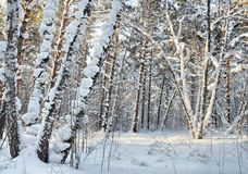Landscape in the winter cold forest Stock Photo