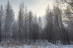 Landscape winter forest. Winter in a beautiful dense forest Royalty Free Stock Image