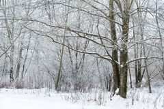 Landscape winter forest. Winter in a beautiful dense forest Royalty Free Stock Photos