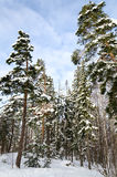 Landscape winter forest. Royalty Free Stock Images