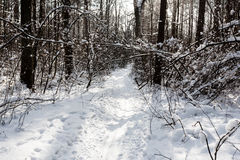 Landscape of the winter forest. Royalty Free Stock Photo