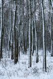 Landscape winter forest. Forest in the snow stock image