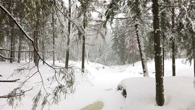 Landscape of winter forest. Landscape of wild winter forest with trees covered with snow stock footage