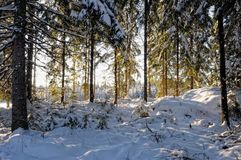 Landscape with winter sunny forest. Stock Photography