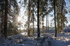 Landscape with winter sunny forest. Stock Images