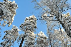 Landscape with winter sunny forest. Royalty Free Stock Photo