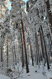 Landscape with winter sunny forest. Stock Photo