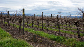 Landscape with winter vineyard Stock Images