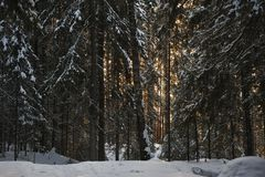Wintery forest with sunset sun glare. Landscape of the wintery snow covered forest view with sun glare Stock Photo