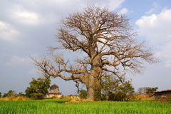 Landscape With Baobab. Mandu, India Royalty Free Stock Photo