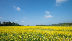 Landscape With Big Rapeseed Field Stock Photo