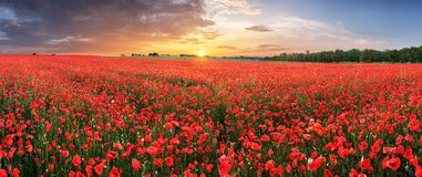 Landscape With Nice Sunset Over Poppy Field - Panorama Stock Image