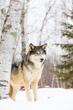 Landscape wolf portrait. During wintertime in mountains Stock Photo