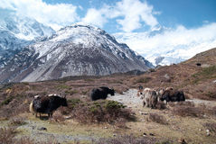 Landscape with yaks and mountains. Stock Image