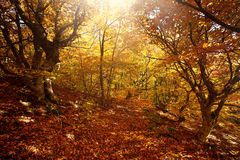 Landscape yellow autumn forest in sunlight Stock Image