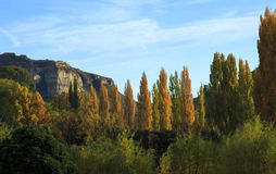 Landscape of yellow autumn poplar trees. Autumn landcape with bright yellow trees with mountain in background Stock Image