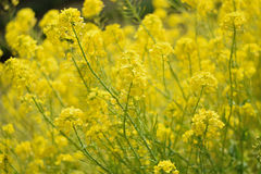 Landscape Yellow blooming Canola or Rapeseed flower fields Stock Photography