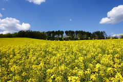 Landscape with yellow canola field Stock Image