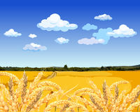 Landscape yellow field with wheat. And sky with clouds Stock Photos