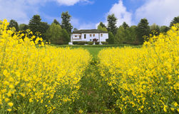 Landscape of yellow flower field. With the building in the distance Stock Photography