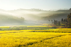 Landscape of yellow flowers being covered by mist coming from the mountains. Landscape of yellow flowers being covered by mist coming from the mountains in the Stock Photos