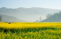 Landscape of yellow flowers being covered by mist in the evening. Landscape of yellow flowers being covered by mist in the evening, China Royalty Free Stock Image
