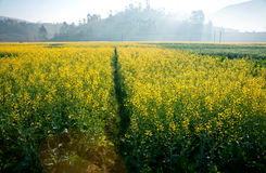 Landscape of yellow flowers being covered by mist in the evening. Landscape of yellow flowers being covered by mist in the evening, China Stock Images