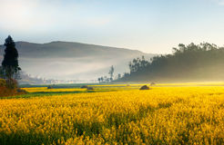 Landscape of yellow flowers in China. Landscape of yellow flowers being covered by mist in the evening, China Royalty Free Stock Image