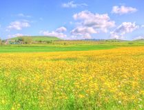 Landscape yellow flowers field under blue sky in spring Royalty Free Stock Images