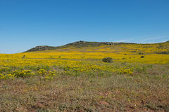 Landscape of yellow flowers on a hill top along the West Coast of South Africa Stock Image