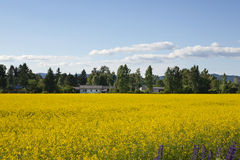 Landscape with yellow flowers. Landscape shot of a field of yellow flowers on a sunny day Royalty Free Stock Photo