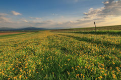 Landscape with yellow flowers and sunset. Spring landscape and yellow flowers Stock Photo