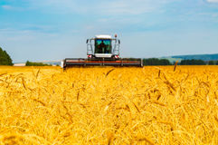 Landscape with yellow grain fields Royalty Free Stock Images