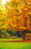 Landscape with yellow leaves on tree and green grass lawn Stock Image