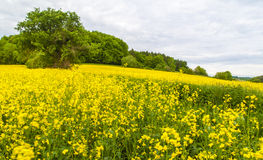 Landscape with yellow rapeseed field Royalty Free Stock Images