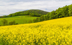 Landscape with yellow rapeseed field Stock Image