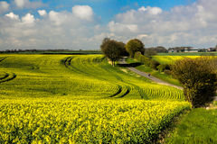Landscape with yellow rapeseed flowers under the cloudy sky Royalty Free Stock Photo