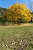 Landscape with yellow trees near Pancharevo lake, Sofia city Region, Bulgaria. Autumn Landscape with yellow trees near Pancharevo lake, Sofia city Region Stock Image