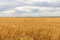 Landscape with yellow wheat field and cloudy sky. Poland stock photos