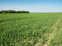 Landscape of young green cereal plants Stock Photos