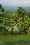 Landscape of young watered ricefields. Landscape of young watered ricefield with some coconut palm in Bali island royalty free stock photo