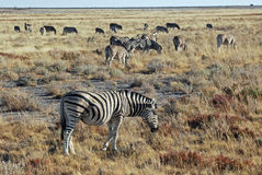 Landscape with zebras - Etosha National Park Royalty Free Stock Images