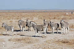 Landscape with zebras - Etosha National Park Stock Image