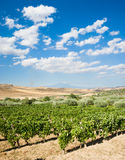 Landscaped of vineyard Royalty Free Stock Images