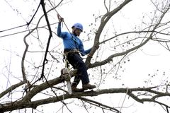 Landscaper in the trees. A landscaper in a tree looking for limbs of trees that he will cut down stock photo