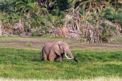 Landscapes of Amboseli. Elephant in swamp. Kenya, Africa Stock Photography