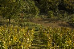 Vineyard and nature in Zagorje, Croatia. Landscapes in Croatia, vineyard, trees, and grass Stock Images