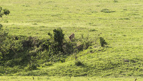 Landscapes with Lion female. Landscapes with  wild lion Tanzania, Africa. The photo was taken in  Ngorongoro Crater, Ngorongoro Conservation Area Royalty Free Stock Photography